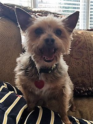 Gainesville Ga Yorkie Yorkshire Terrier Meet Beau A Pet For