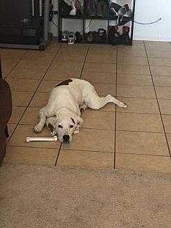 Brittany/Spaniel (Unknown Type) Mix Dog for adoption in Tucson, Arizona - Gunner