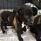 Adopt A Pet :: Sweet Zoey