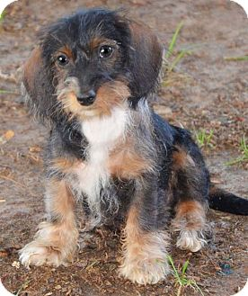 Allentown Pa Dachshund Meet Carla A Pet For Adoption