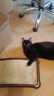 Domestic Shorthair Cat for adoption in Saint Clair, Missouri - Wolverine