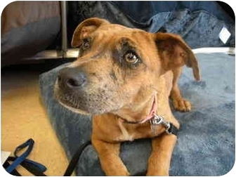 Boxer Mix Dog for adoption in Homestead, Florida - Romey