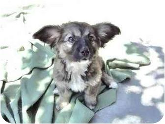 San Diego, CA - Corgi  Meet Julie a Pet for Adoption