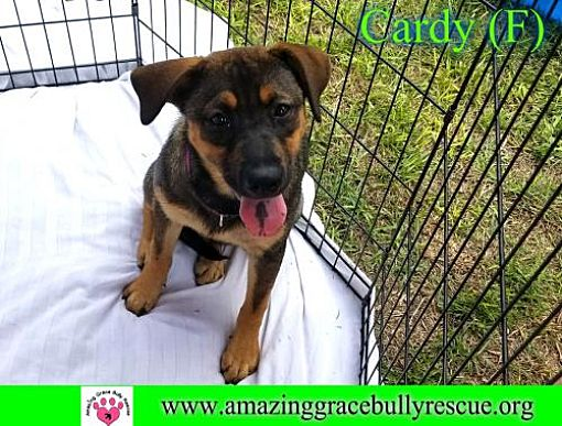 Pensacola, FL - German Shepherd Dog  Meet Cardy a Pet for