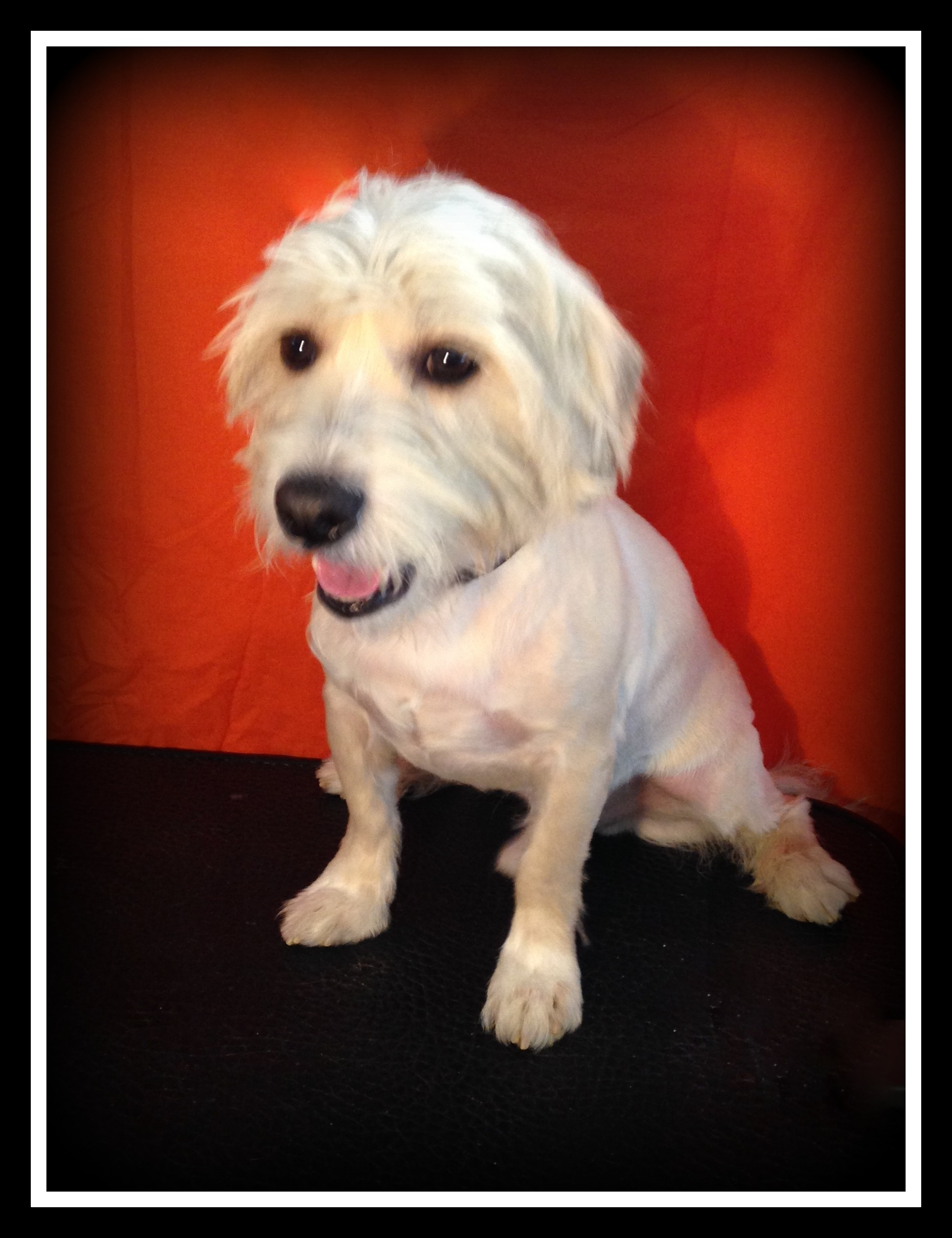 Indian Trail Nc Westie West Highland White Terrier Meet Rocky A Pet For Adoption
