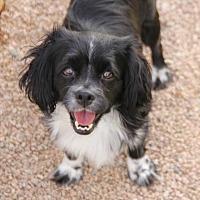 Adopt A Pet :: Mulligan - Phoenix, AZ