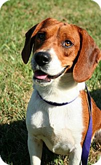 Beagle Dog for adoption in Fenton, Missouri - Ralph