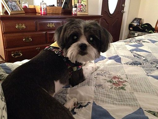 Hazard Ky Shih Tzu Meet Rosie A Pet For Adoption