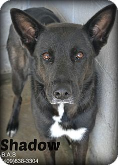 German Shepherd Dog Mix Dog for adoption in Beaumont, Texas - Shadow