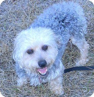 Cameron Mo Yorkie Yorkshire Terrier Meet Rosco A Pet