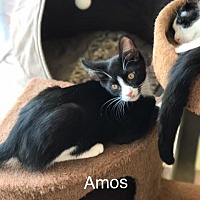 Domestic Shorthair Kitten for adoption in Island Park, New York - Amos