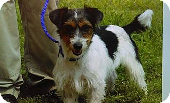 Terrier (Unknown Type, Small) Mix Dog for adoption in Plano, Texas - Ryder