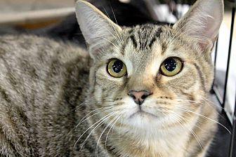 Adopt A Pet :: Talledega  - Troy, MI