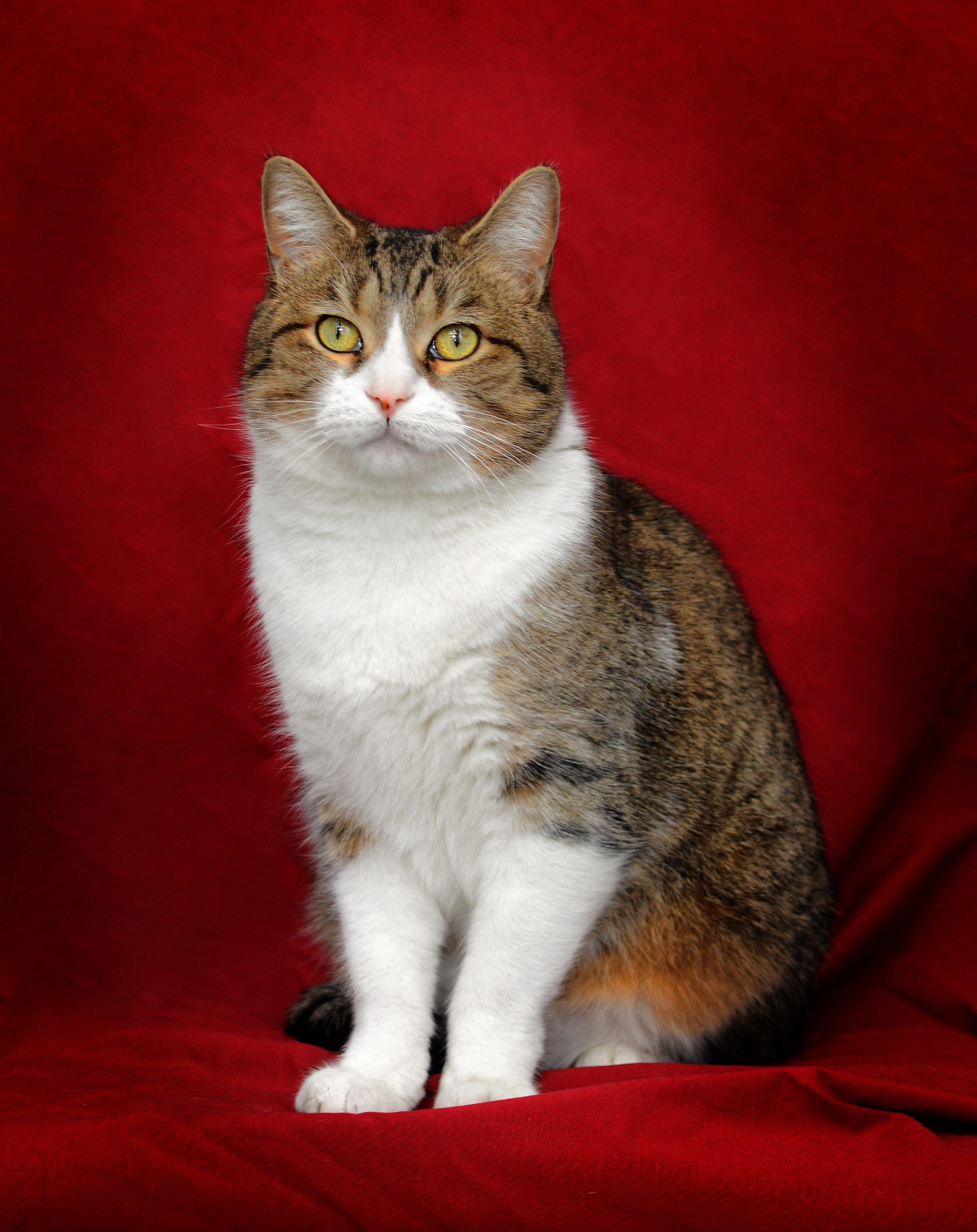 Chicago, IL - American Shorthair. Meet Goober a Cat for Adoption.