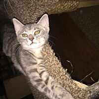 Domestic Shorthair Kitten for adoption in Columbia, South Carolina - Allie