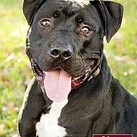 Adopt A Pet :: Ajax - Marina del Rey, CA