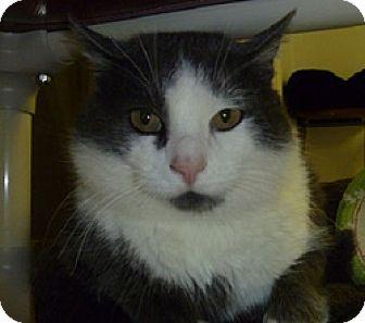 Domestic Shorthair Cat for adoption in Hamburg, New York - Cheesy Poof