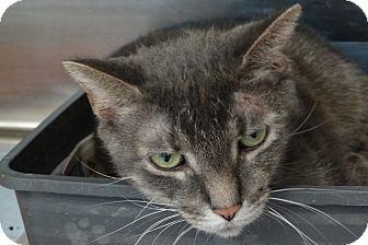Domestic Shorthair Cat for adoption in Elyria, Ohio - Roxanne