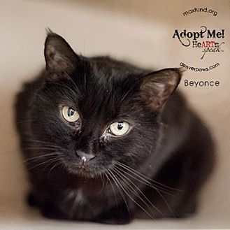 Domestic Shorthair Cat for adoption in Denver, Colorado - Beyonce