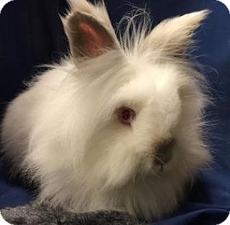 Lionhead Mix for adoption in Woburn, Massachusetts - Gia