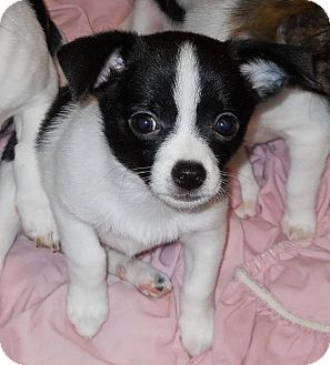 Oklahoma City Ok Rat Terrier Meet Johnny Ringo A Pet For Adoption
