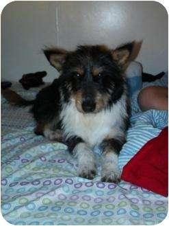 Corgi/Fox Terrier (Wirehaired) Mix Dog for adoption in Oceanside, California - Buck
