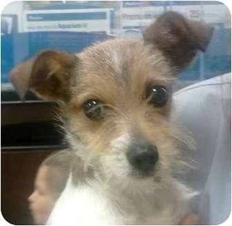 Orlando Fl Fox Terrier Wirehaired