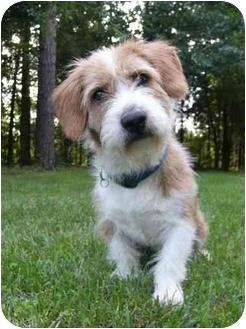 Mocksville, NC - Wirehaired Fox Terrier. Meet Benji a Dog for ...