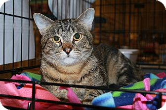 Domestic Shorthair Cat for adoption in Rochester, Minnesota - Bobby
