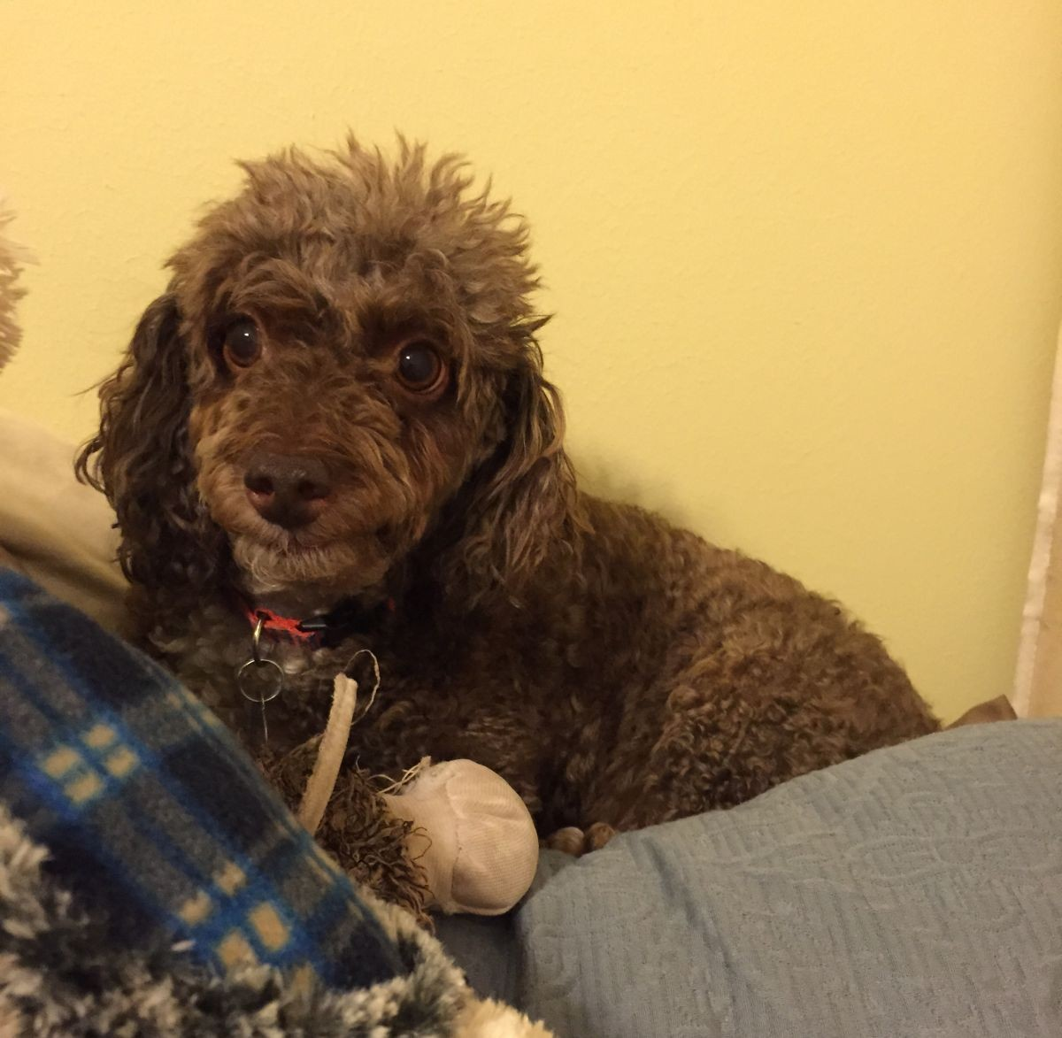 Knoxville Tn Miniature Poodle Meet Sadie A Pet For Adoption