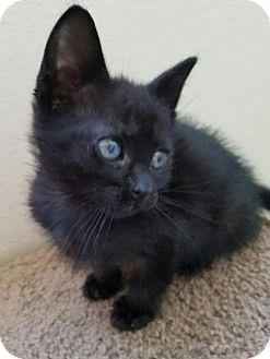 Domestic Longhair Kitten for adoption in San Dimas, California - Jerome