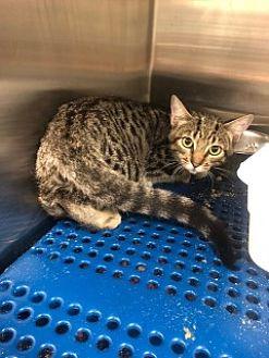 Adopt A Pet :: Simba  - Havelock, NC