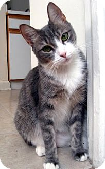 Domestic Mediumhair Cat for adoption in Alexandria, Virginia - Nelly