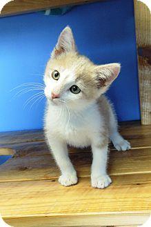 Domestic Shorthair Kitten for adoption in Brookings, South Dakota - Oliver