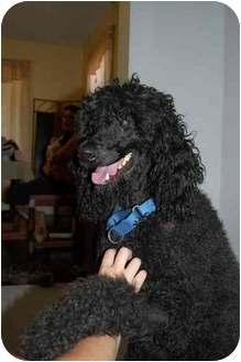Rochester Ny Poodle Standard Meet Truman A Pet For