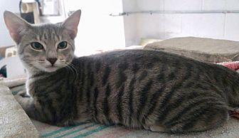 Adopt A Pet :: Sammy a pt silver bengal..  - Ft Myers Beach, FL