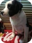 Great Pyrenees/Collie Mix Puppy for adoption in East Hartford, Connecticut - Titus ADOPTION PENDING