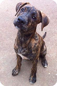Nashville Tn Boxer Meet Baxter A Pet For Adoption