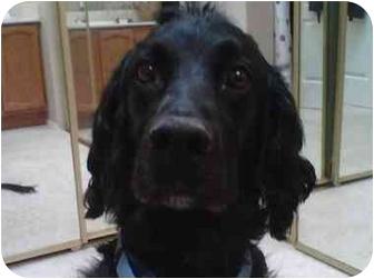 Rio Rancho, NM - Labradoodle  Meet Linus a Pet for Adoption