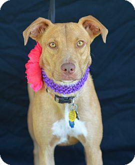 Pharaoh Hound Mix Dog for adoption in Plano, Texas - Bella