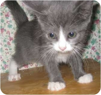 Burmese cat rescue texas