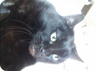 Domestic Shorthair Cat for adoption in Rochester, New York - JAPEDO - DECLAWED CHAP