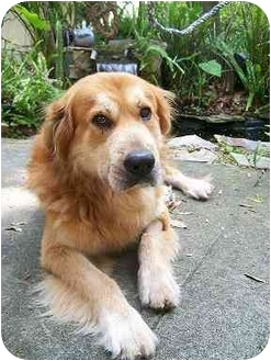 Jacksonville Fl Golden Retriever Meet Levi A Pet For Adoption