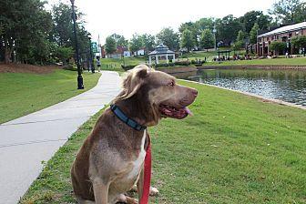 Adopt A Pet :: Joey  - Greer, SC