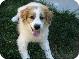 Broomfield Co Australian Shepherd Meet Mark Twain A Pet For