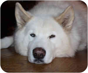 Marion Ar Great Pyrenees Meet Eskimo Rescue Pending A