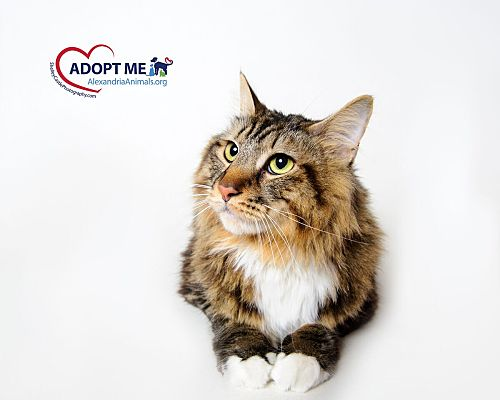 Alexandria Va Maine Coon Meet Gizzy A Pet For Adoption