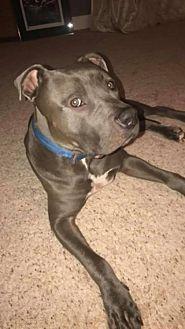 Adopt A Pet :: Kilo  - Anchorage, AK