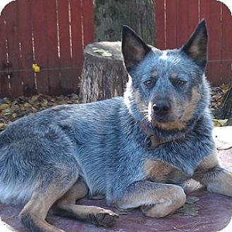 Australian Cattle Dog Dog for adoption in Remus, Michigan - ACD Napoleon is Deaf