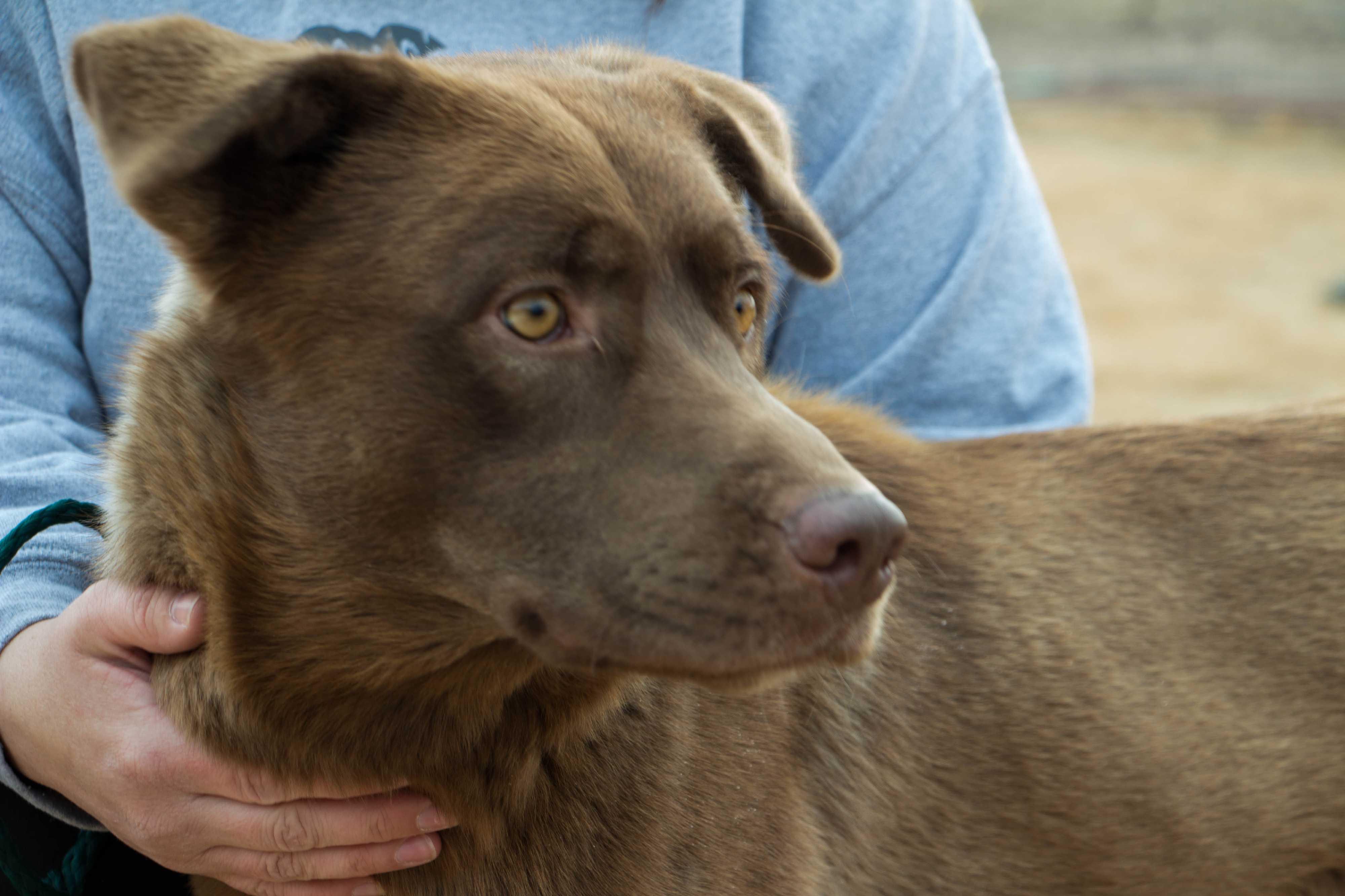 Lubbock, TX - Labrador Retriever  Meet Paddington a Pet for Adoption